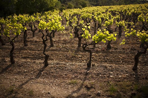 Weinreben Aragon2